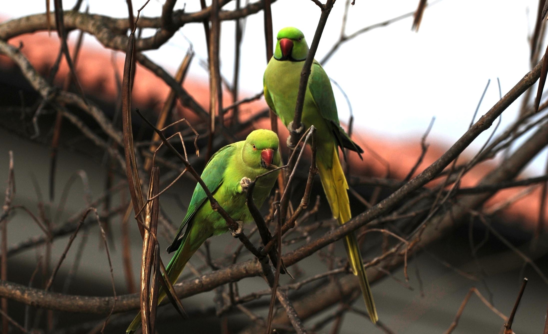 pappagalli di città